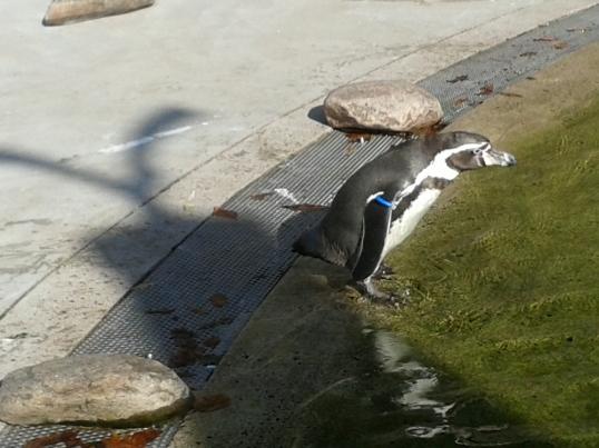 Kävin puistossa katsomassa pingviinejä. Pingviinit olivat hiukan eksyneen näköisiä, jotenkin samaistuttavalla tavalla. Ja ne epäröivät hetken ennen veteen astumista. Vähän niin kuin minä Suomen kesässä.